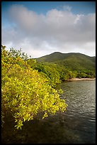 Shore tree, Great Lameshur Bay, and green hills. Virgin Islands National Park ( color)