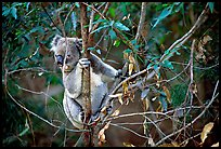 Koala in natural environment. Australia (color)