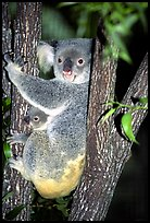 Koala with cub. Australia (color)