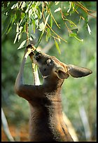 Kangaroo reaching for leaves. Australia (color)