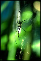 Giant spider (Golden Orb). Australia (color)