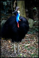 Cassowary rainforest bird. Australia ( color)