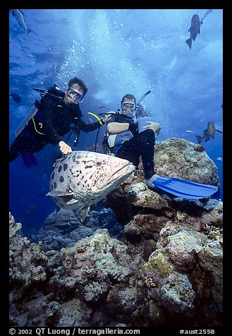 Scuba divers and huge potato cod fish. The Great Barrier Reef, Queensland, Australia (color)