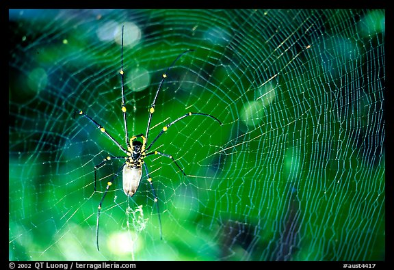 Golden Orb Spider and web. Australia