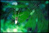 Golden Orb Spider and web. Australia (color)