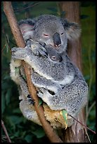 Koala and cub. Australia (color)