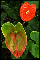 Anthurium Flowers. Big Island, Hawaii, USA ( color)