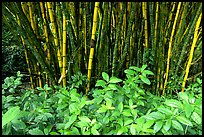 Bamboo grove. Akaka Falls State Park, Big Island, Hawaii, USA ( color)