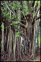 Bayan tree in Kipahulu. Maui, Hawaii, USA (color)