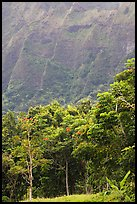 Tropical trees and cliff, Hoomaluhia Park Botanical Gardens. Oahu island, Hawaii, USA ( color)