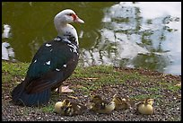 Duck and chicks, Byodo-In temple. Oahu island, Hawaii, USA ( color)