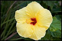 Yellow hibiscus. Oahu island, Hawaii, USA (color)
