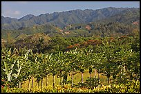 Fruit trees, hills, and mountains, Laie, afternoon. Oahu island, Hawaii, USA