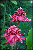 Torch Ginger flower. Oahu island, Hawaii, USA