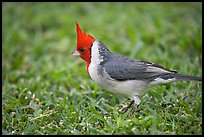 Bird with red head. Oahu island, Hawaii, USA (color)