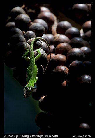 Lizard on fruit of tropical tree. Kauai island, Hawaii, USA