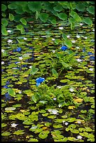 Blue aquatic flowers and water lilies. Kauai island, Hawaii, USA
