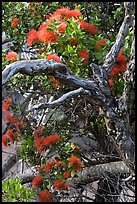 Ohia Tree with gnarled branches and red Lihua flowers, Waimea Canyon. Kauai island, Hawaii, USA