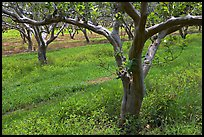 Guava trees in plantation. Kauai island, Hawaii, USA