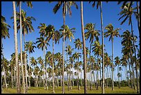 Coconut tree grove near Kapaa. Kauai island, Hawaii, USA ( color)