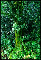 Breadfruit tree with fruits. Akaka Falls State Park, Big Island, Hawaii, USA ( color)
