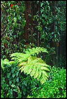 Ferns and leaves. Akaka Falls State Park, Big Island, Hawaii, USA ( color)