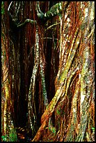 Banyan tree trunk close-up. Akaka Falls State Park, Big Island, Hawaii, USA ( color)
