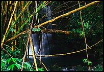 Bamboo grove and waterfall. Akaka Falls State Park, Big Island, Hawaii, USA (color)