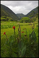 Tropical flowers and taro plantations, Waipio Valley. Big Island, Hawaii, USA ( color)