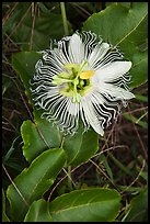 Passion fruit flower, Waipio Valley. Big Island, Hawaii, USA ( color)