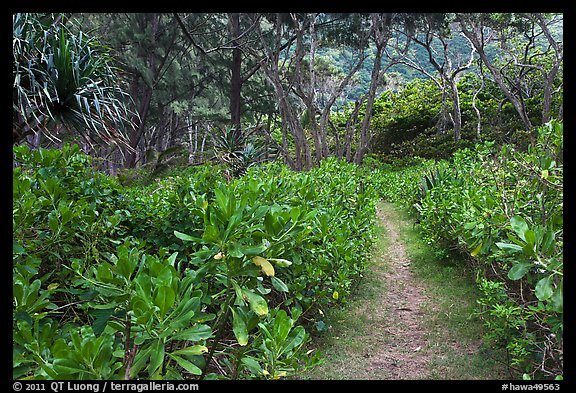 Trail in forest, Waipio Valley. Big Island, Hawaii, USA (color)