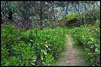 Trail in forest, Waipio Valley. Big Island, Hawaii, USA ( color)