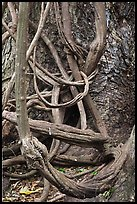 Lianas and tree trunk. Maui, Hawaii, USA (color)