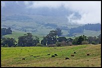 High country pastures with cows. Maui, Hawaii, USA