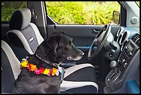 Dog with lei sitting in car. Maui, Hawaii, USA (color)