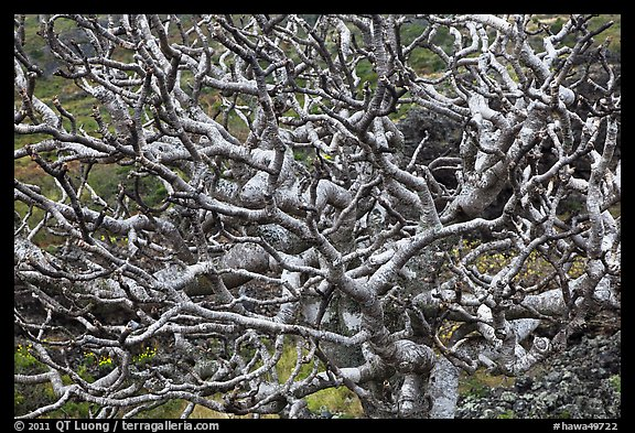 Bare twisted and ramified tree branches. Maui, Hawaii, USA (color)