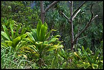 Tropical vegetation along Kalalau trail. Kauai island, Hawaii, USA ( color)