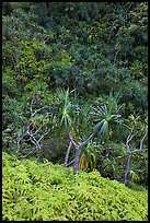 Ferns,  Pandanus trees and steep slope, Na Pali coast. Kauai island, Hawaii, USA ( color)