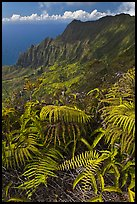 Ferns and Na Pali Cliffs, see from Kokee Mountain Park. Kauai island, Hawaii, USA ( color)