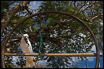 White parrot, Kilauea. Kauai island, Hawaii, USA (color)