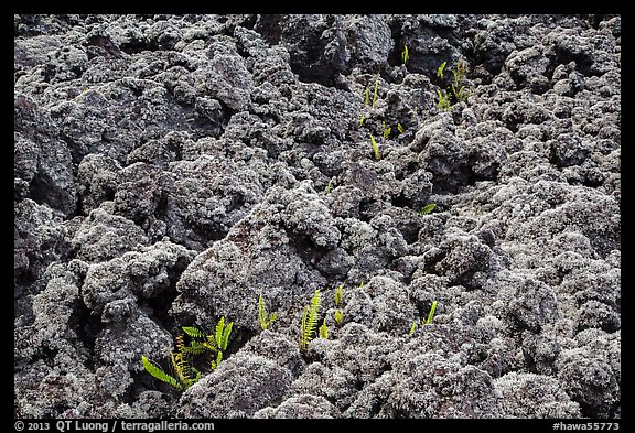 Ferns and lava rocks covered with moss. Big Island, Hawaii, USA
