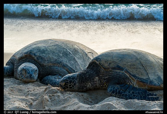 Sea Turtles and surf, Laniakea Beach. Oahu island, Hawaii, USA (color)