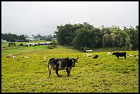 Longhorn cows in pasture, Waimea. Big Island, Hawaii, USA ( color)