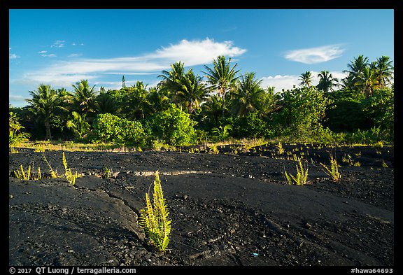 Young ferns sprouting out of lava field, Kalapana. Big Island, Hawaii, USA (color)