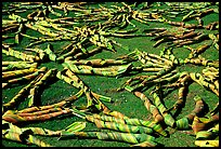 Pandanus leaves being dried. American Samoa ( color)