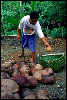Villager throwing a pealed coconut into a basket made out of a single palm leaf. Tutuila, American Samoa (color)