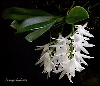 Arerangis hyaloides. A species orchid (color)