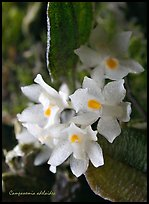 Campanemia adelaiae. A species orchid (color)
