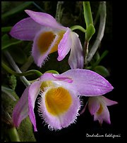Dendrobium loddigessii. A species orchid (color)