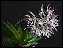 Macroclinium manabinum. A species orchid (color)
